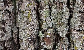 Image result for red oak tree bark