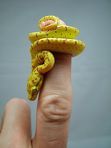 Green tree python! They are so frickin cute as babies, as adults they are utterly terrifying