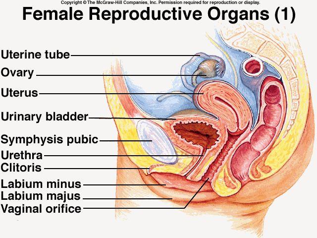 31 Best Female Anatomy Images On Pinterest Female Reproductive