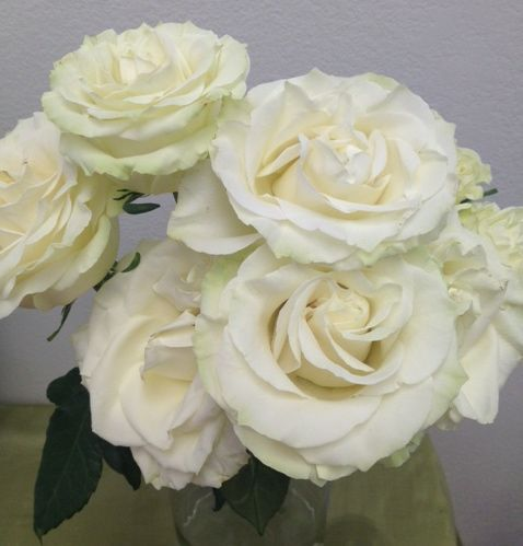 """Mondial cream rose 7 days into test - huge bloom (5"""" wide) and consistent. Test conducted by Flirty Fleurs"""
