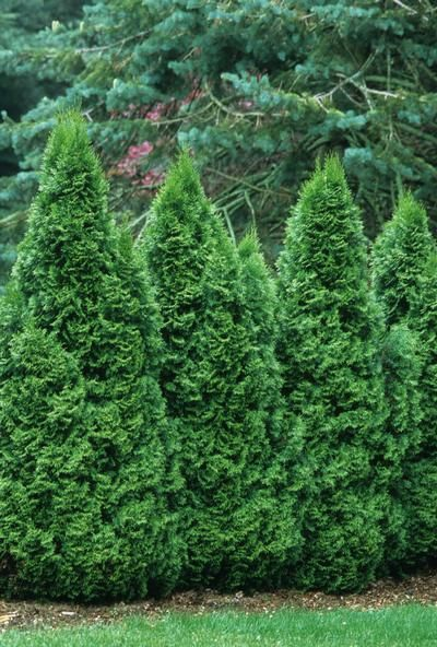 thuja occidentalis 39 smaragd 39 emerald green arborvitae. Black Bedroom Furniture Sets. Home Design Ideas