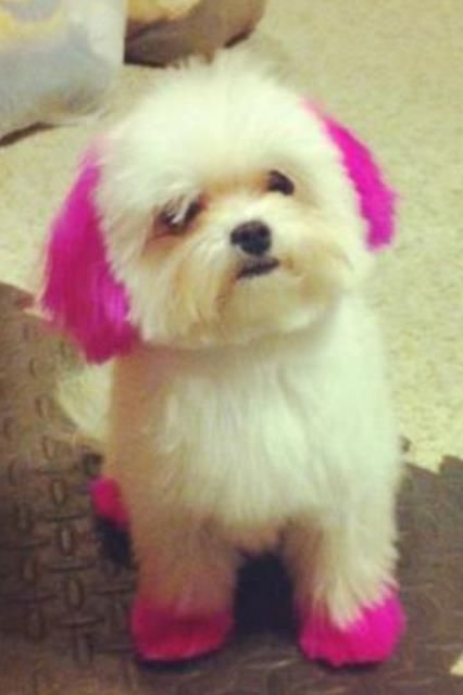 20 best Malshi haircuts images on Pinterest   Doggies, Fluffy pets ...