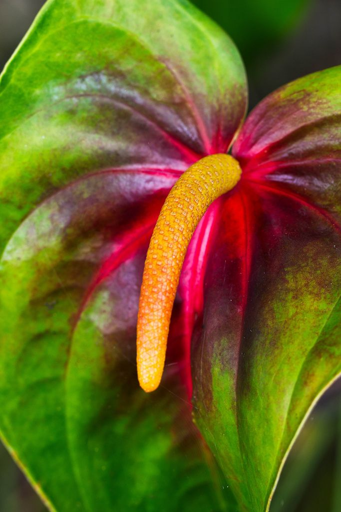 Anthurium - Flickr - Photo Sharing!