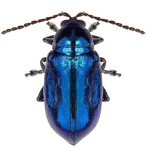 Giant Atlas Beetle Bright Blue Beetle Vin...