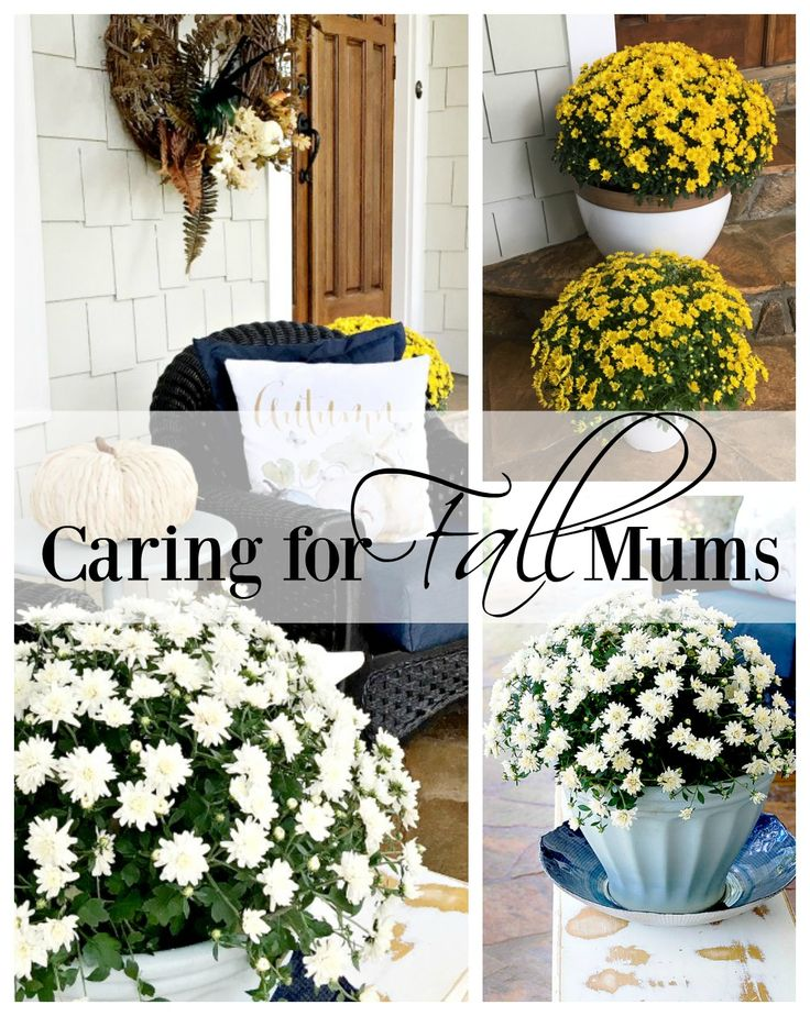 how to take care of mums in fall