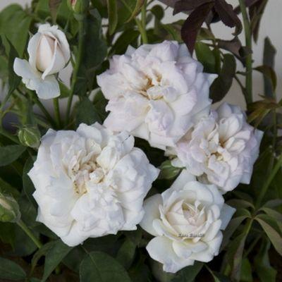 Rosa 'La biche' (rampicante )da yougardener
