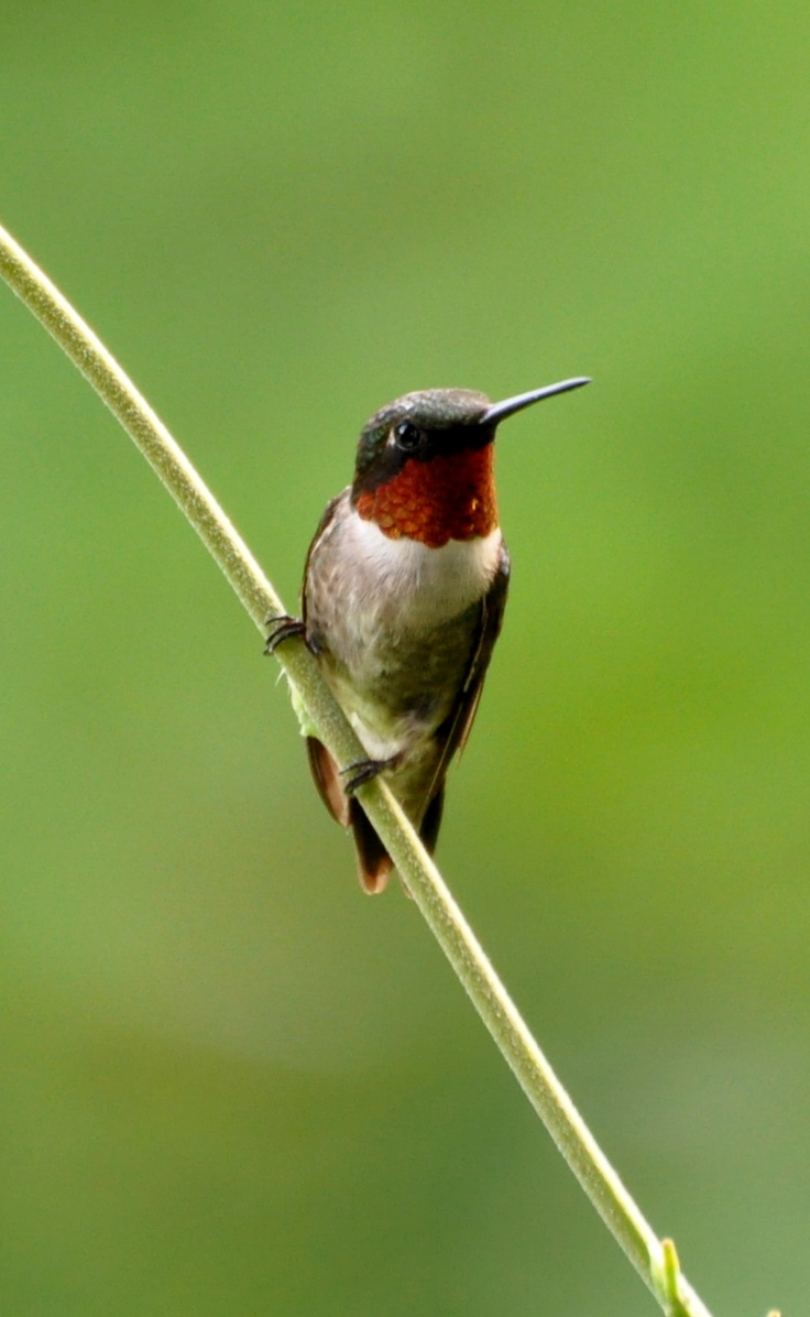 Red Throat Hummingbird 25