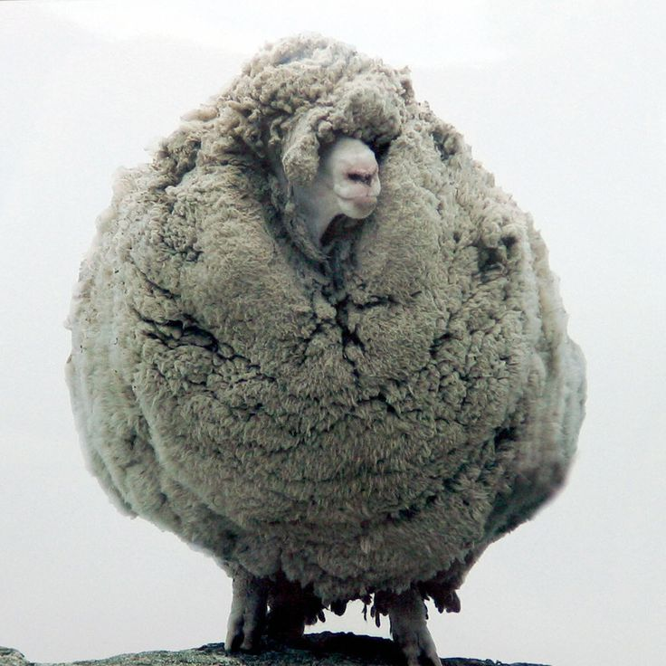 Shrek, aovelha que ficou sem ser tosquiada durante seis anos, tempo em que andou fugida. / Shrek, a sheep thathid in a cave for six years without being shorn;