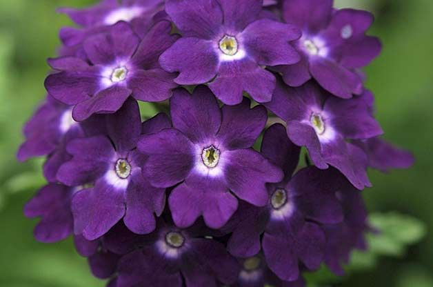 Whatever your garden mood, reach for these vivacious violet hues for your flower garden and enjoy the colorful results.