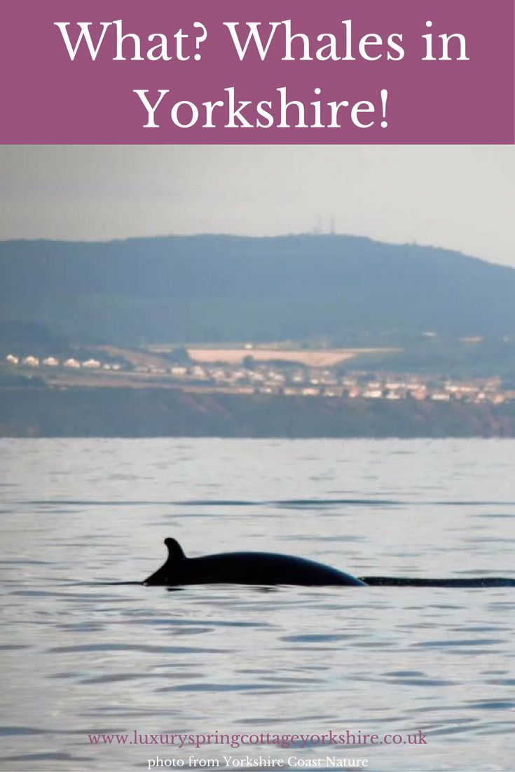 Yes there are whales in Yorkshire! Book a tour with Yorkshire Coast Nature and see these magnificent creatures for yourself. Just like my hubby did: http://luxuryspringcottageyorkshire.co.uk/whale-watching-in-yorkshire/ If only me sea legs had been stronger!