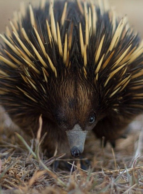 Echidna, New South Whales by burroblando