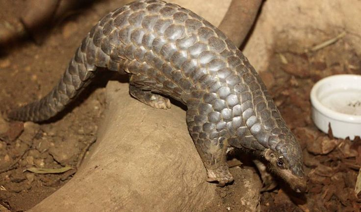Despite its name, the Chinese pangolin can be found throughout a vast tract of Asia stretching from Nepal to Taiwan to Burma. Its popularity as food, as well as the use of its distinctive scales for medicine, have led to steep declines in the species. It's now so rarely observed that reliable estimates of its population are impossible. One 2005 study estimated their numbers in China had fallen by as much as 94% since the 1960s.