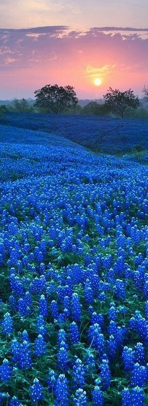 Ennis Bluebonnet Festival, TX: The open plains of Texas are even more beautiful when covered in blue blooms. (spring?):