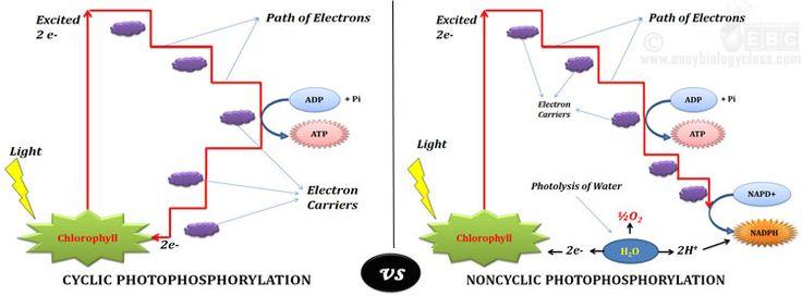 cyclic vs noncyclic light reaction