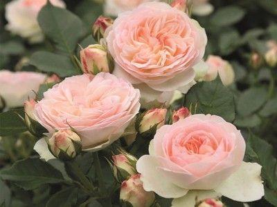 ГРАНИЦА Pastelle роза розы Tantau лицензия!  прод.
