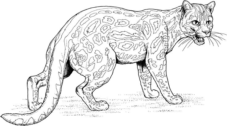 Free picture of an ocelot coloring pages