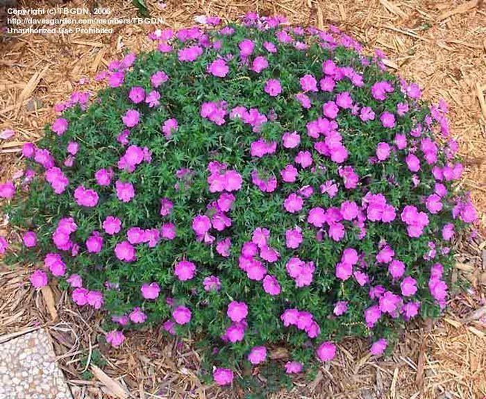 Hardy Geranium 'John Elsley' (Geranium sanguineum) zone 4, reseeds true. Very hardy and blooms great.
