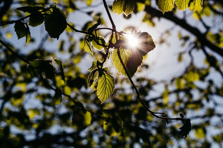 https://flic.kr/p/UdraNJ | Sun rays through hazel leaves | Get more free Spring photos on freestocks.org :)