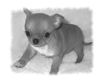 Chihuahua poil court