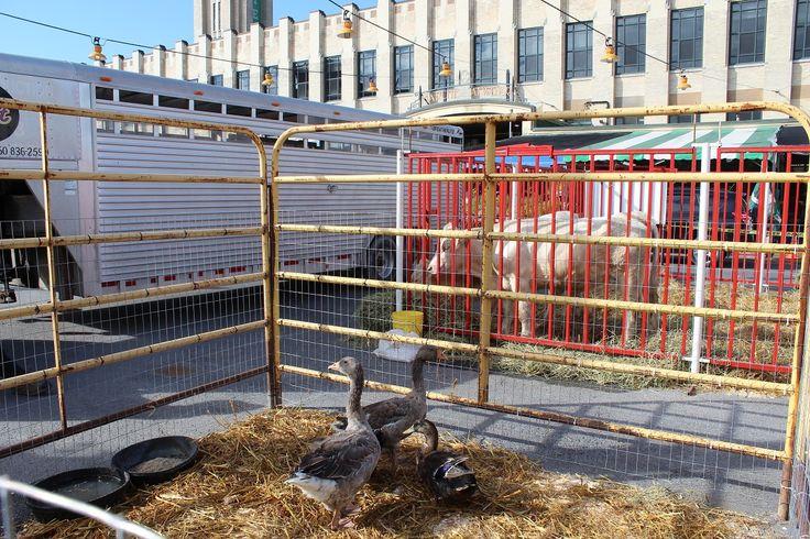 Nous avions également amené un couple d'oie de Toulouse et un couple de canard de Rouen: 2 nouvelles espèces de nos élevages.