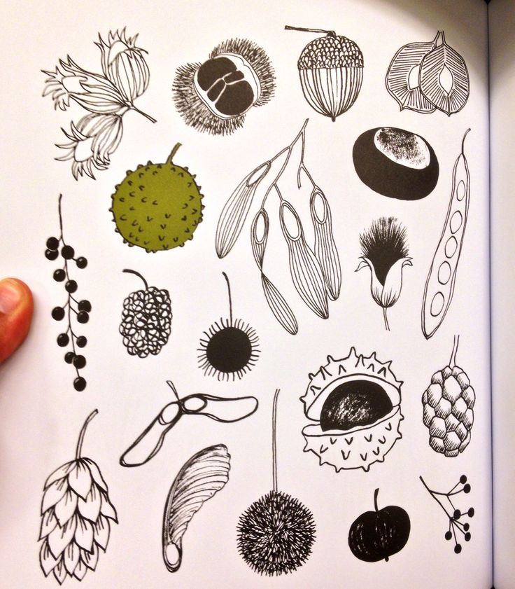 I found this picture useful as basic pictures on how to draw the different seed pods