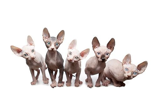 Sphynx Cats <3, I want one of these someday they are so cute!!