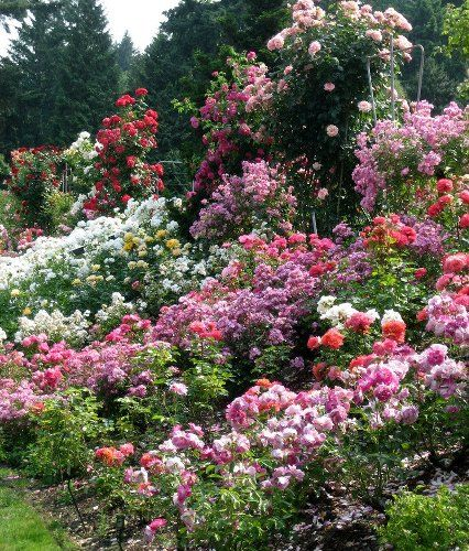 15 best How do your roses grow images on Pinterest Gardening