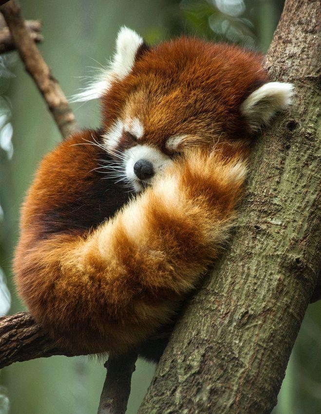 Sleepy red panda fluff ball