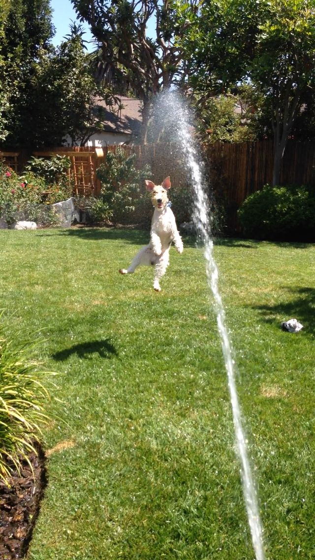Brilliant action shot! Otis loves to play in the water. The hose high jump.