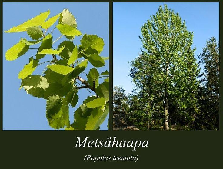 Metsähaapa - Populus tremula