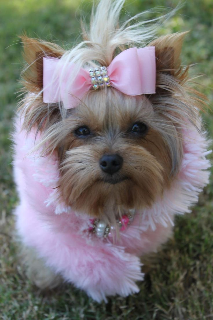best yorkies images on pinterest fluffy pets yorkies and