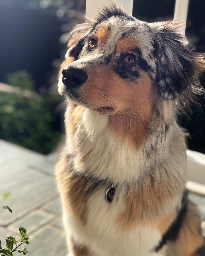 This Australian Shepherd. dog