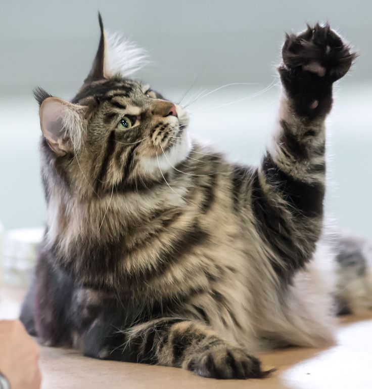 Maine Coon, black tabby blotched (n 22) Mostlycats Pinball Wizard.
