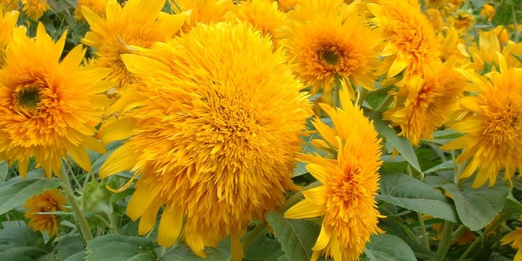 """Their genus name is Helianthus (which comes from the Greek words for """"sun"""" and """"flower""""). While many varieties look bright and cheery, their shapes can be quite different. For instance, these funny """"goldie"""" sunflowers look like puffballs.   - HouseBeautiful.com"""