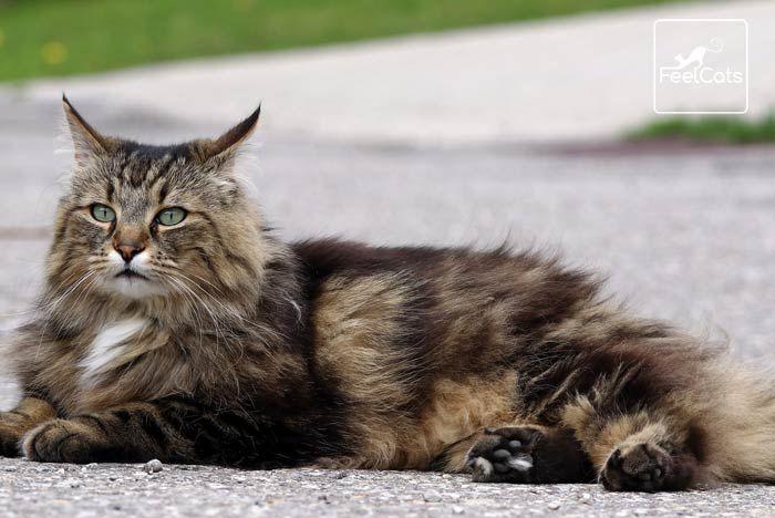 Los 13 Gatos Más Bonitos Del Mundo Con Fotos Feelcats Bosque De Noruega Gatos Gato Bosque De Noruega