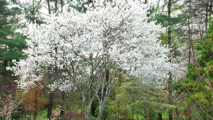 After you cut down the Bradford pear, plant one of these!  Grumpy loves these trees with white blooms.