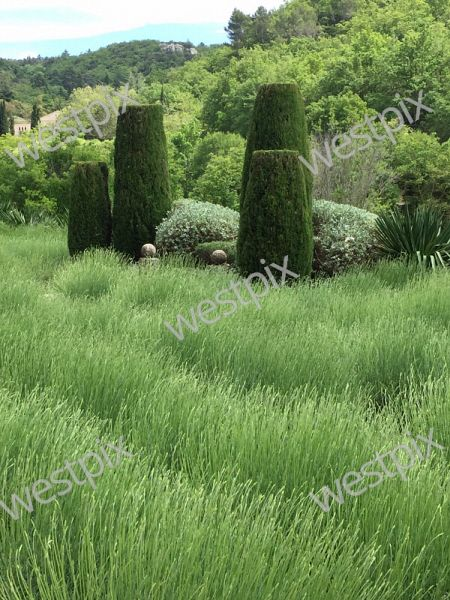 Clipped cupressus, lavender and teucrium in Provence, France. Picture: Sabrina Hahn