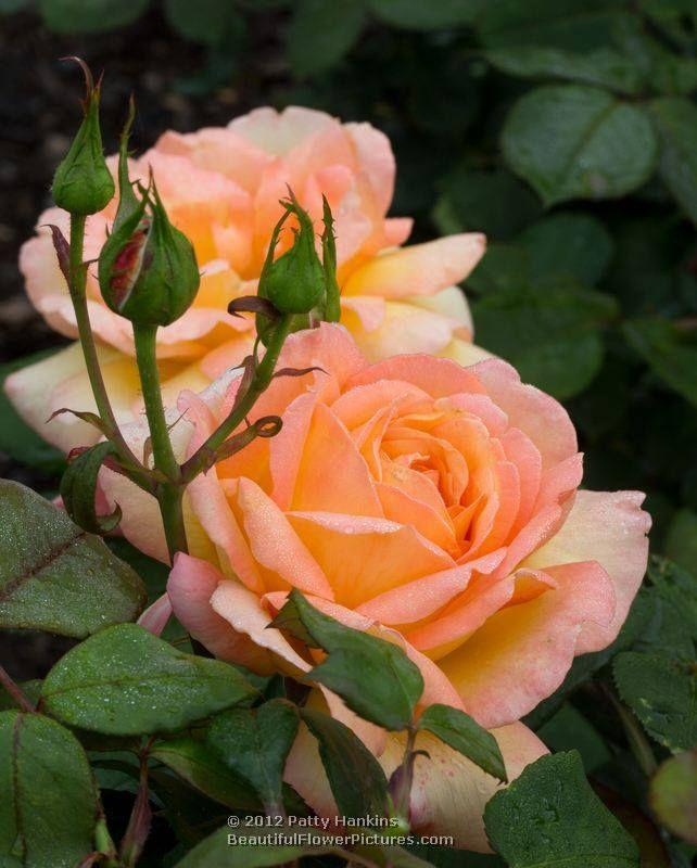 Glowing Peace Rose