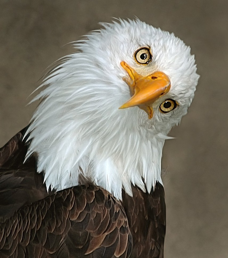 240 best eagle images on Pinterest | Birds of prey, Exotic birds and ...