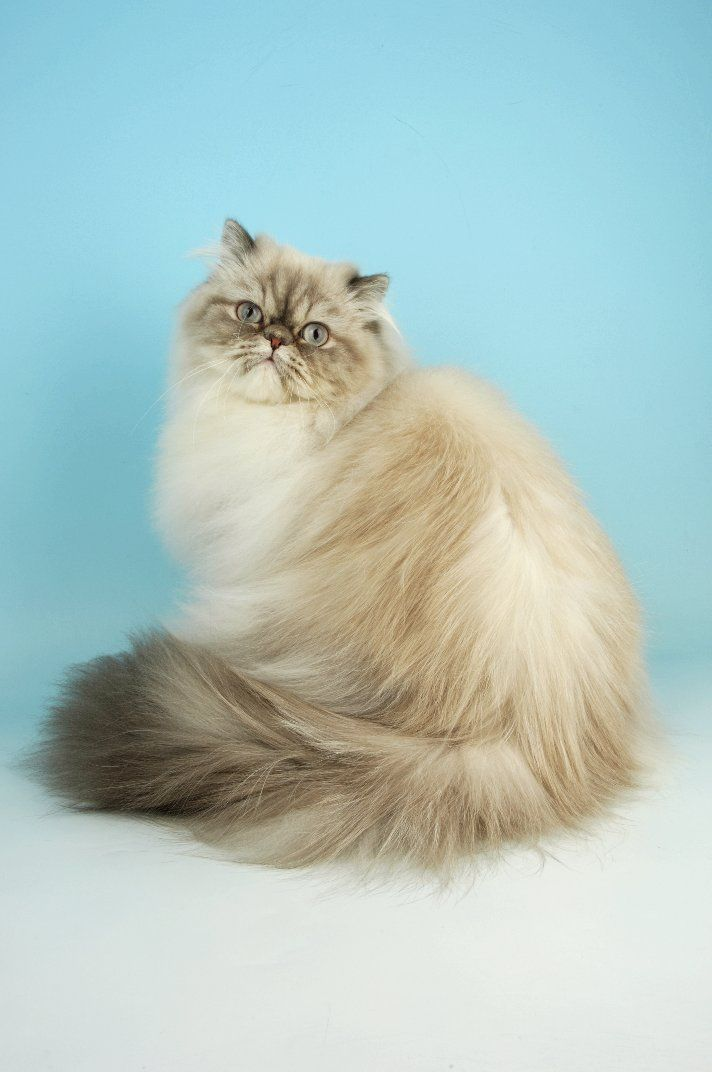 ~ Himalayan Cat ~...I'm gonna get one and name him crookshanks...hopefully I'll find a ginger one :)