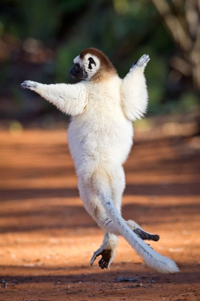 Dancing Sifaka lemurs caught on camera by British wildlife photographers in Madagascar - Telegraph