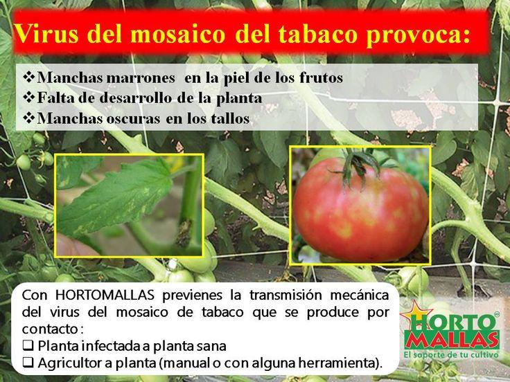usar HORTOMALLAS reduce la incidencia de virosis en comparación a quienes usen la rafia.