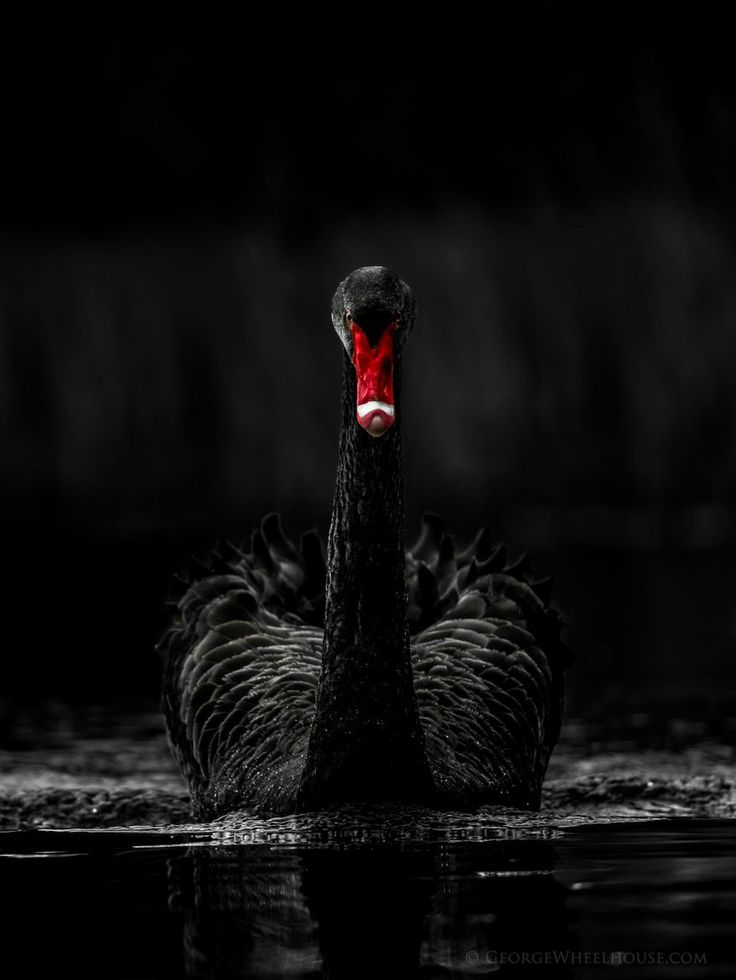 black swan animal - photo #42