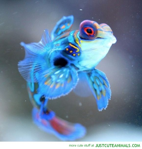 periwinkle mandarin fish blue ocean marine cute animals