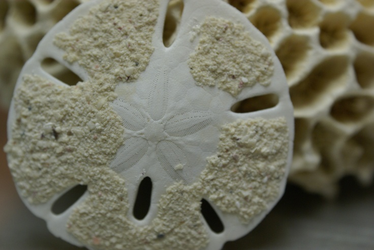 Sand dollars ... a great find ...