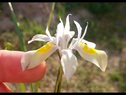 Moraea fugax subspecies