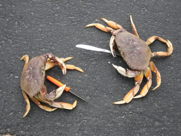 crabs with knives
