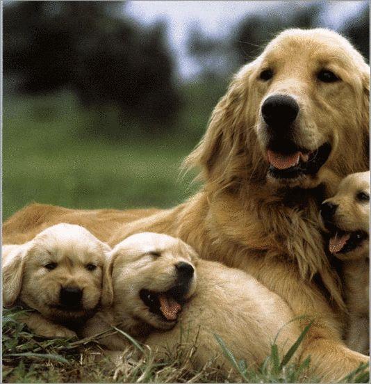 honden zijn ook een van mijn favoriete dieren, huisdieren (golden retrievers,kruisinggolden retriever-fox en kruising golden retriever-friese stabij