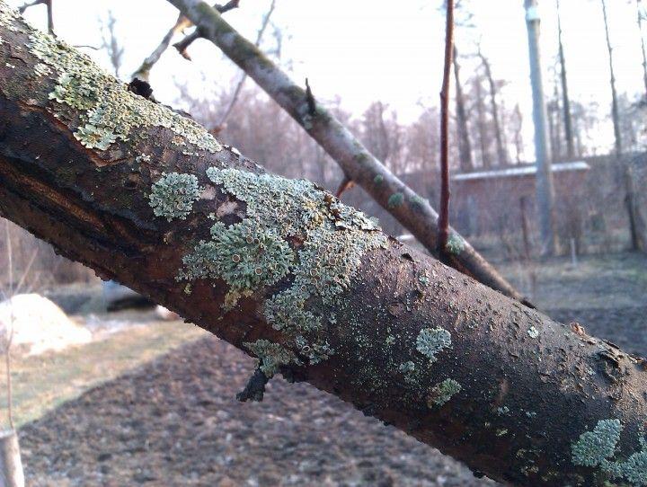 Сад: Блог им. rybakma1: Болезни фруктовых деревьев