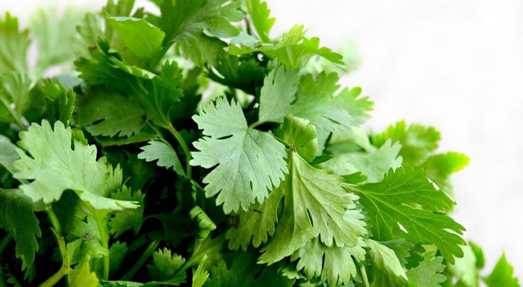 The 2017 Herb of the Year is — drum roll please — Coriandrum Sativum.